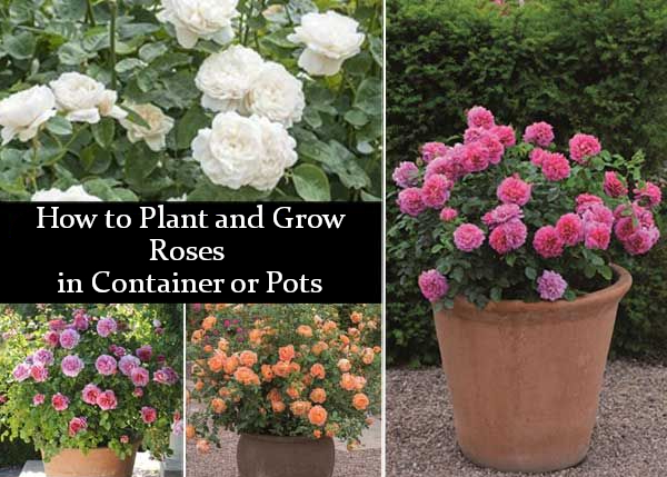 How To Plant And Grow Roses In Container Or Pots Container Roses