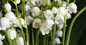 Lily Of The Valey